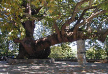 1000 years old plane tree in Tsagarada Pelion